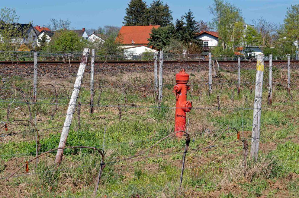 Im Kampf gegen den Weinbrand